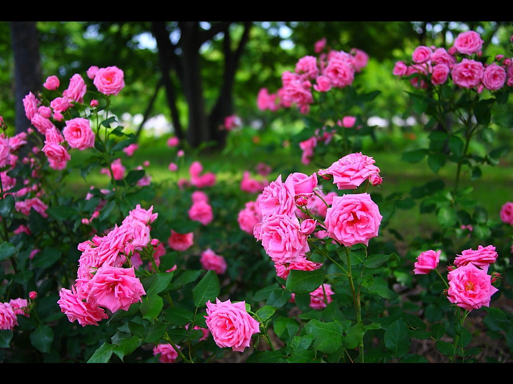 バラの画像 p1_20