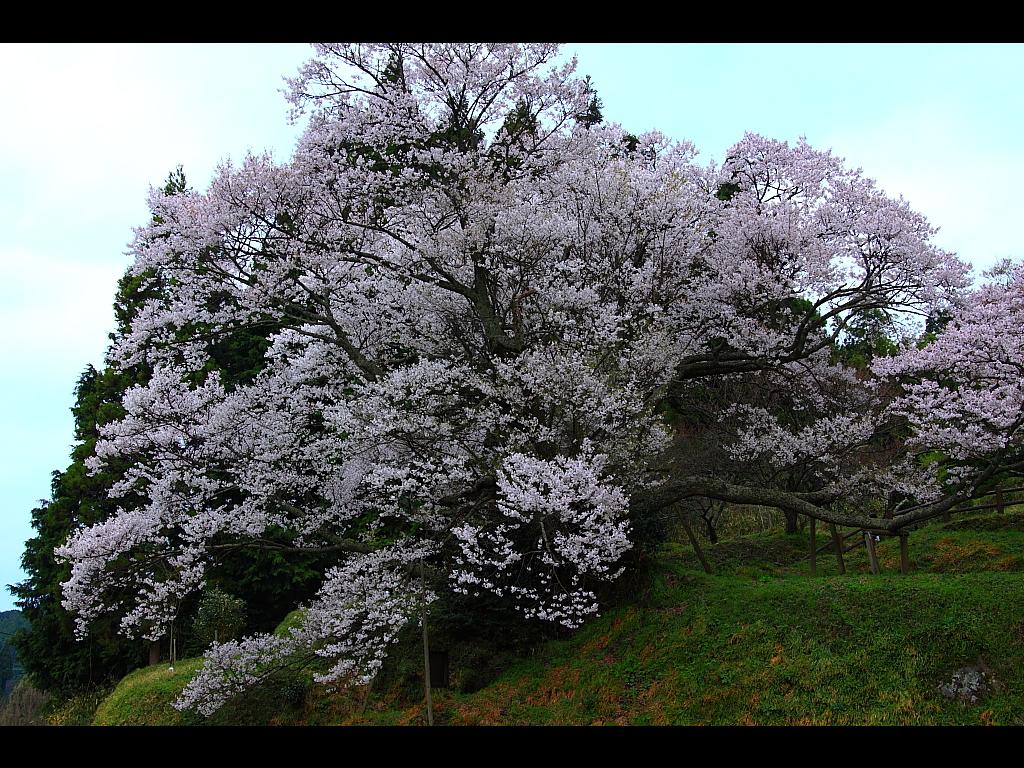 三多気の桜から仏隆寺へ 左クリックで仏隆寺 桜へ右クリック背景に設定で壁...  壁紙サイズ T