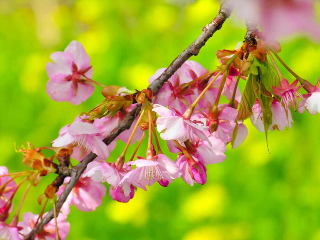 桜の画像 p1_18
