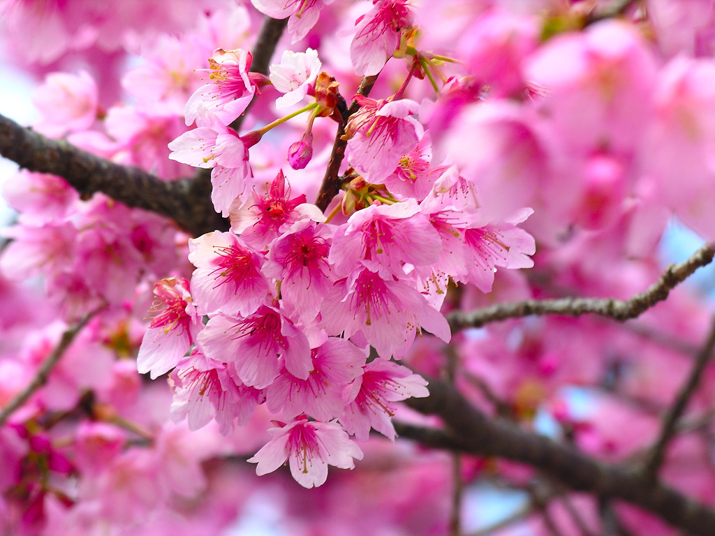 桜の画像 p1_19