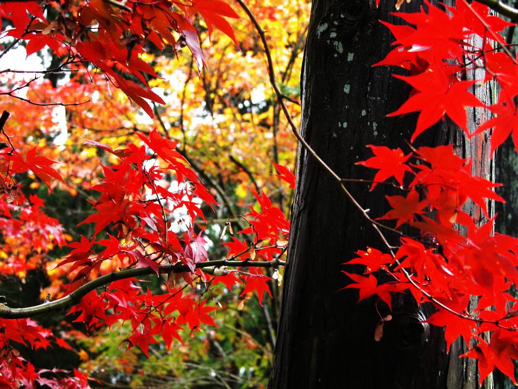 光明寺真っ赤な紅葉 左クリックで京都光明寺へ右ク... 壁紙サイズ Tweet 光明寺真っ赤な紅