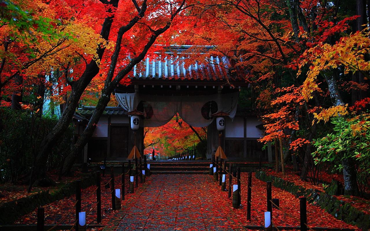 光明寺紅葉参道と門にかかる紅葉1280x800サイズ 左クリックで京都光明寺紅葉 · 壁紙サイズ