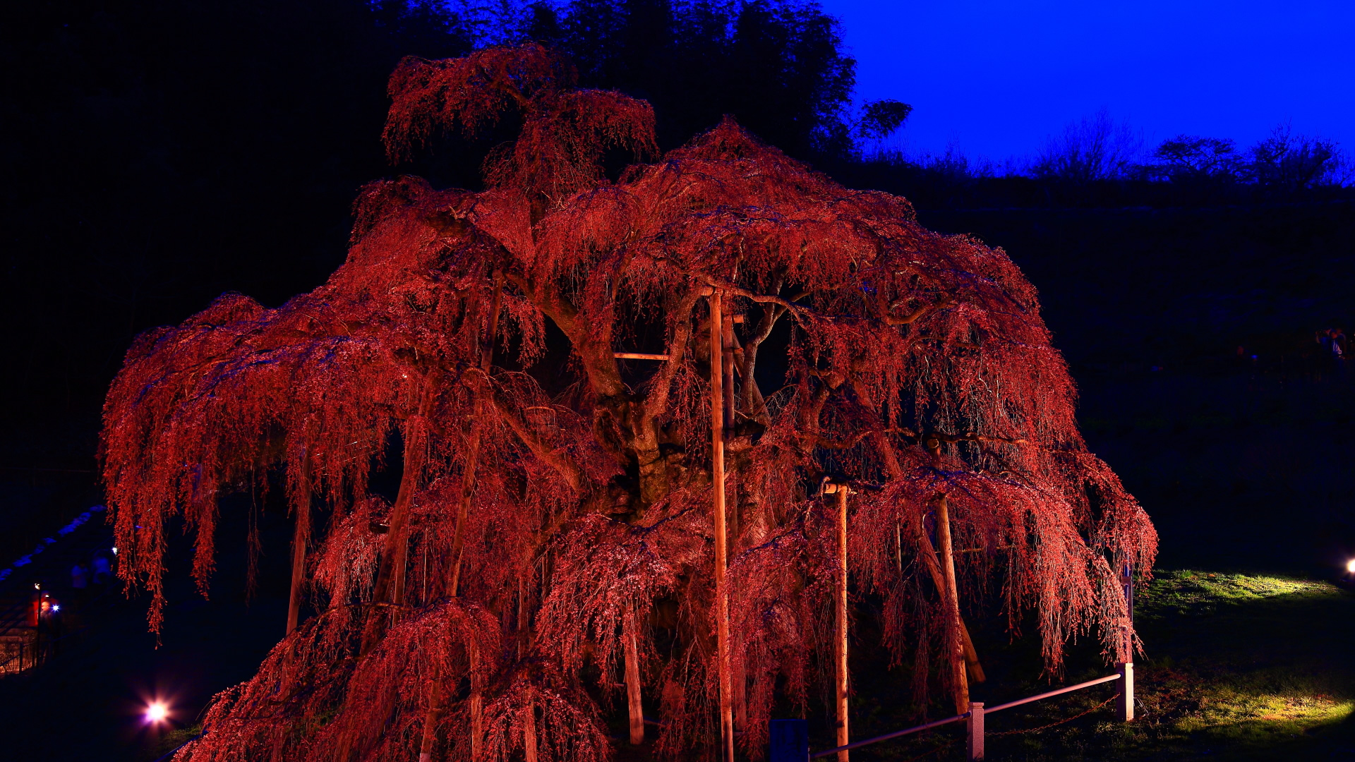 三春滝桜ライトアップ1920x1080サイズ 左クリックで三春滝桜ライト...  壁紙サイズ T