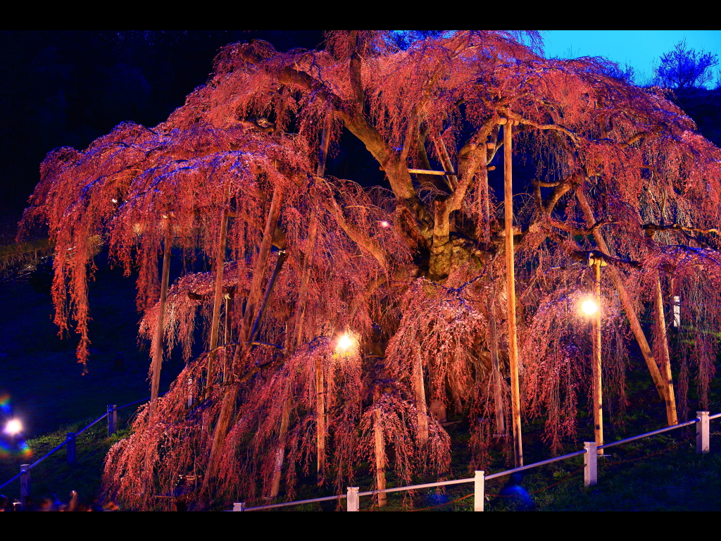 三春の滝桜のライトアップ 左クリックで三春滝桜ライトアップへ右クリック背...  壁紙サイズ T