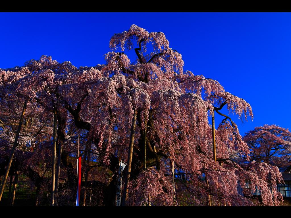 三春の滝桜について 左クリックで三春の滝桜へ右ク... 壁紙サイズ Tweet 三春の滝桜につい