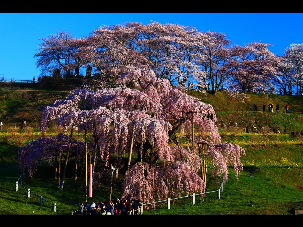 三春の滝桜公園全景 左クリックで三春の滝桜へ右ク... 壁紙サイズ Tweet 三春の滝桜公園全
