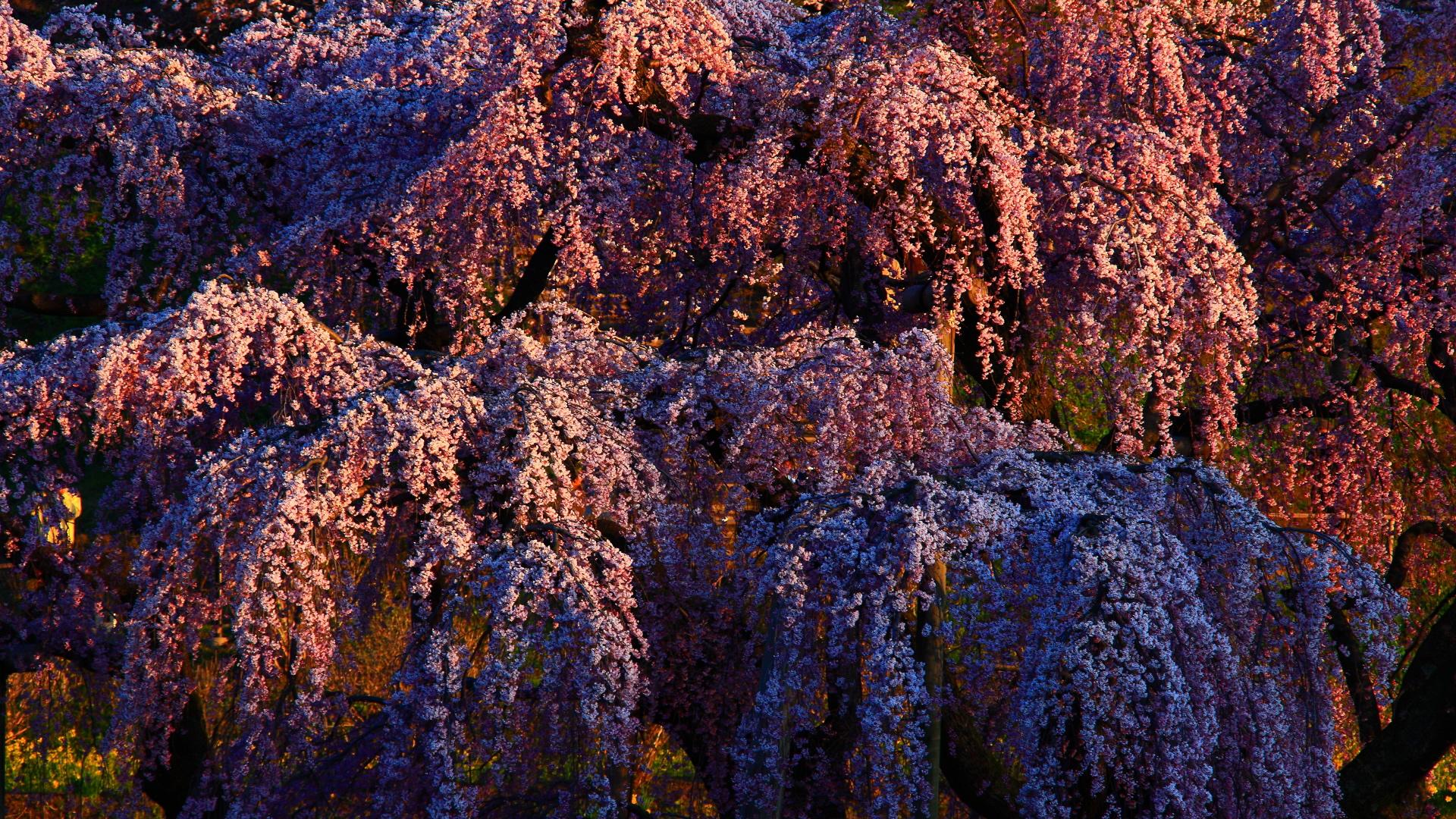 三春の滝桜1920x1080サイズ 左クリックで三春の滝桜へ右クリック背...  壁紙サイズ T