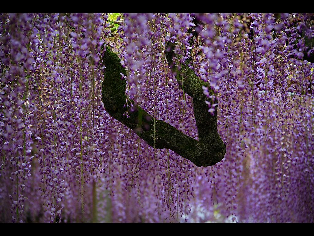 藤の花と曲がった枝 左クリックで大歳神社千年藤へ... 藤の花と曲がった枝