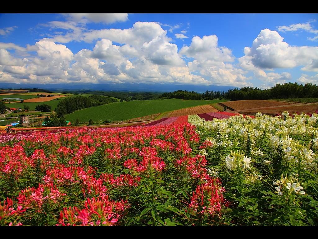 クレオメと美瑛の丘 左クリックで美瑛・四季彩の丘... 壁紙サイズ Tweet クレオメと美瑛の