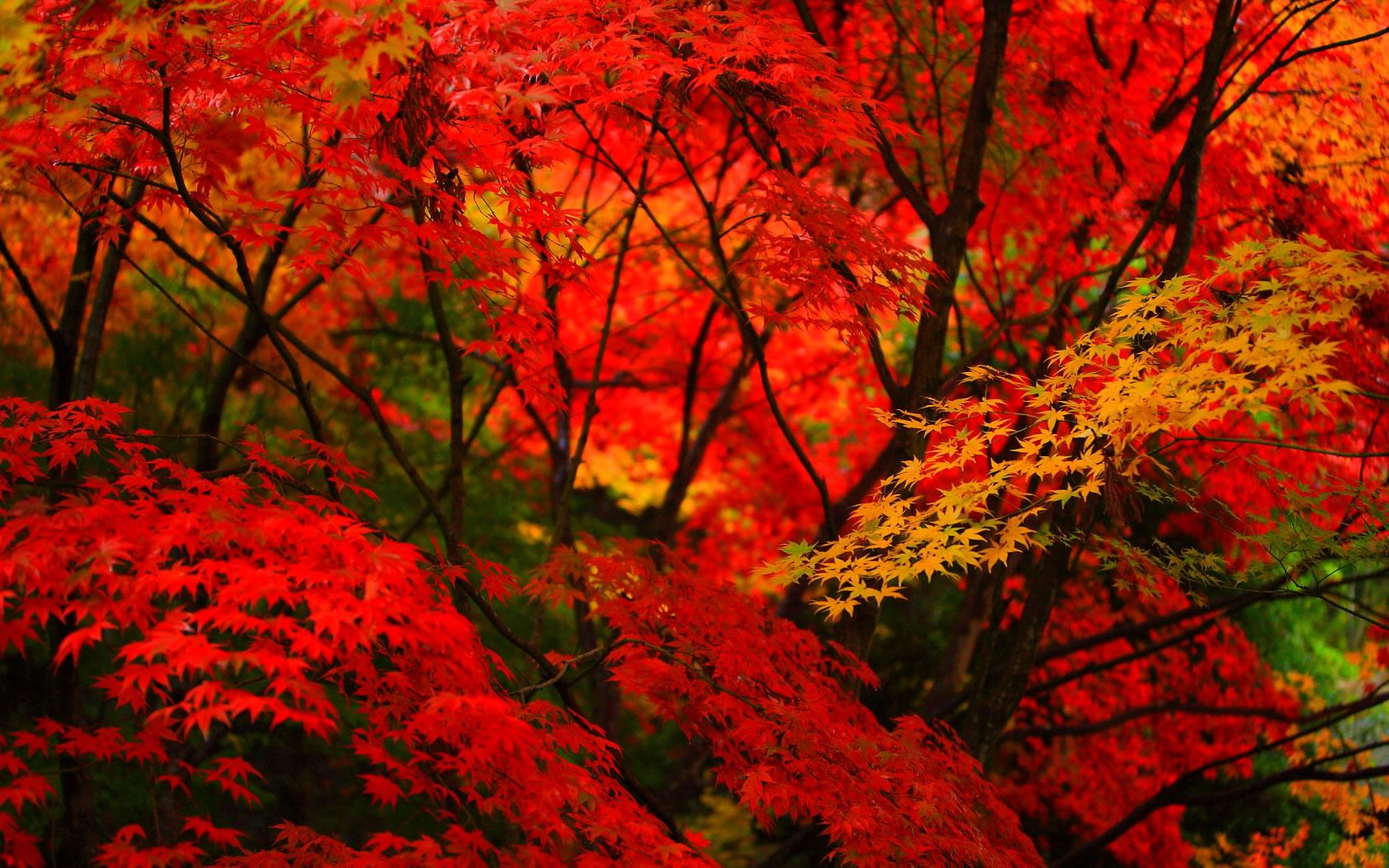 真っ赤な紅葉に黄色い葉の壁紙